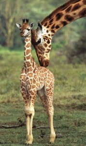 Giraffes teach their young how to stick out their necks